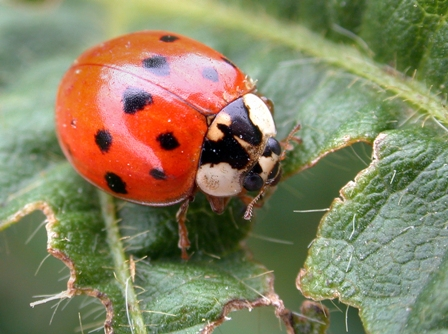 Experts Worried for Increasing Numbers of Asian Lady Beetles in Europe and the U.S.