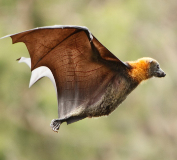 Griffith records detection of deadly bat lyssavirus
