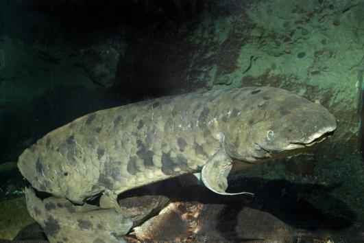 Australian Lungfish to Eat Lavish Cake on Its Birthday
