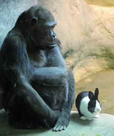 Gorilla Goes Well With Bunny Companion