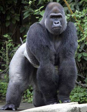 Malaria in humans might have come from Gorillas