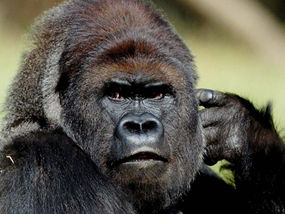 Extroversion Gives Gorillas Extra Years to Live