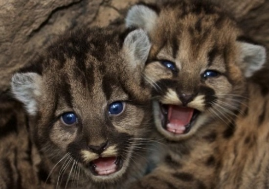 Two mountain lion kittens found in Santa Monica Mountains