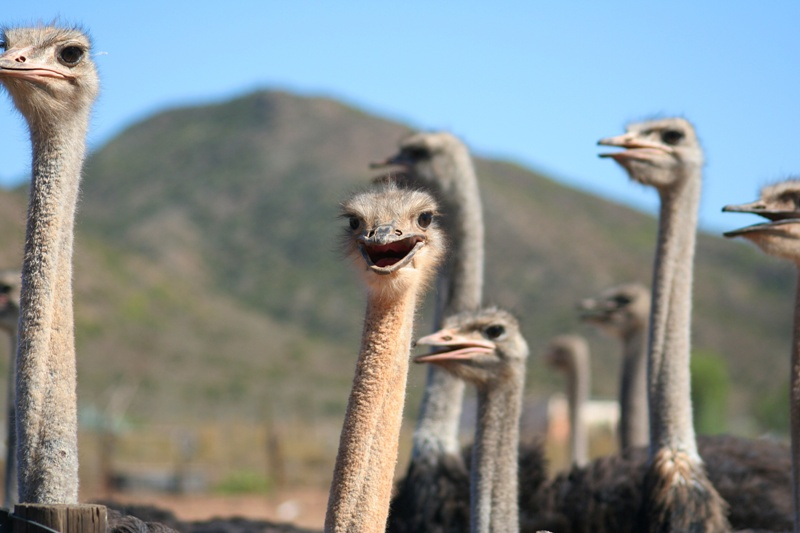 Ostrich muscles - photo#19