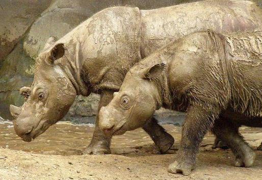 Footage of Endangered Rhino makes Conservationists Happy