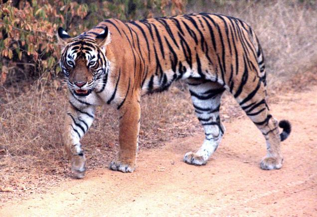 Number of Tigers Up, Thanks to Wildlife Protection Measures