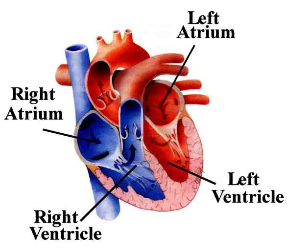 Circulatory System Diagram also Ecg Tutorial 1 Anatomy Electrical System besides Digestive System moreover Integumentary System further Immune System Lymphatic System Function. on human circulatory system quizlet